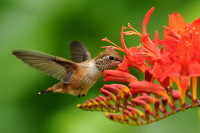 Rufous Hummingbird Feeding on Crocosmia